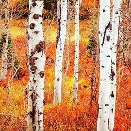 David Millenheft - Autumn Aspens
