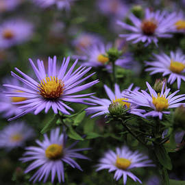 Autumn Asters - Jessica Jenney