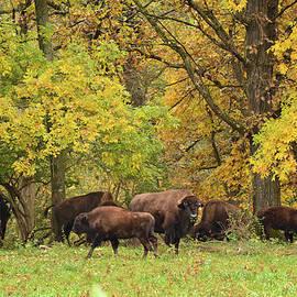 Bonfire Photography - Autumn Bison