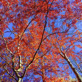 Karen Wiles - Autumn Blaze
