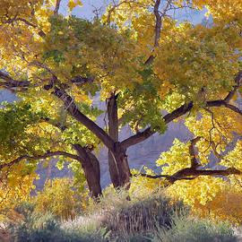 Stephen  Vecchiotti - Autumn Cottonwood - Zion