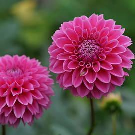 Carrie Goeringer - Autumn Dahlia Flowers