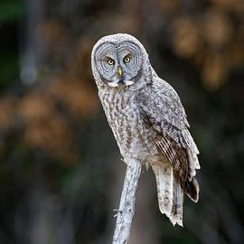 Max Waugh - Autumn Great Gray Owl