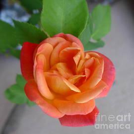 Marlene Rose Besso - Autumn Sedona HEART Rose