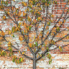 Autumnal Espalier Fruit Tree  - Tim Gainey