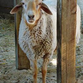 Steve Taylor - Awassi Sheep
