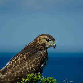 Linda  Howes - Awesome Hawk