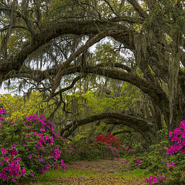 Douglas Berry - Azalea Oak Alley