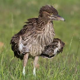Kathleen Bishop - Baby Black-Crowned Night Heron Fluffing