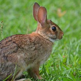 Maria Urso  - Baby Bunny II