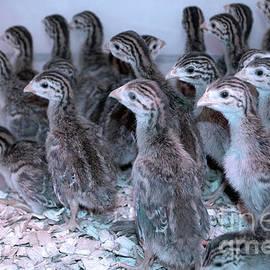 Linda Troski - Baby Chicks