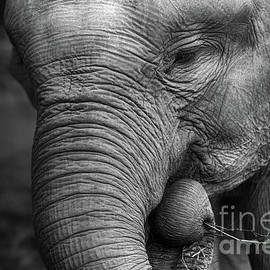 Charuhas Images - Baby Elephant Close Up