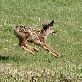 Angela Koehler - Baby Fawn Leaping
