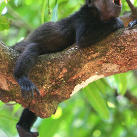 Nathan Miller - Baby Howler Monkey
