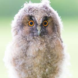 Janne Mankinen - Baby Long-eared Owl