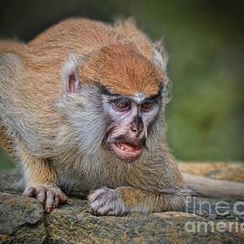 Jim Fitzpatrick - Baby Patas Monkey on Guard