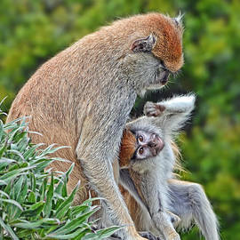 Jim Fitzpatrick - Baby Patas Monkey Playing with His Mommy