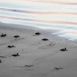 James O Thompson - Baby Turtles at Sunset