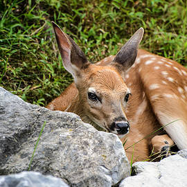 Joshua Zaring - Baby Whitetail Deer Fawn Looking at You