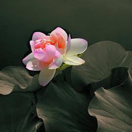 Backlit Lotus - Jessica Jenney