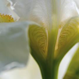 Vishwanath Bhat - Backlit white Iris flower closeup