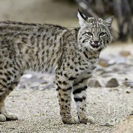 Bryan Keil - Backyard Bobcats