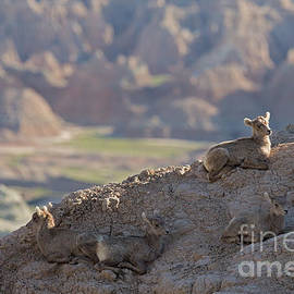Natural Focal Point Photography - Badlands Lamb Rest Time