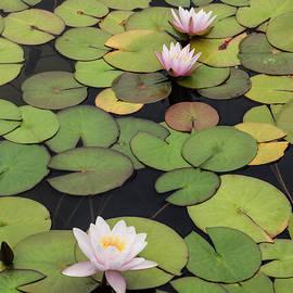 William Dunigan - Balboa Park Lily Pads Color