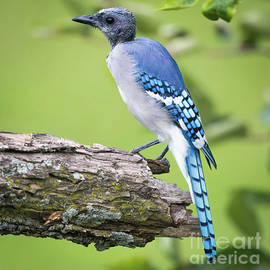 Ricky L Jones - Bald Blue Jay- It Must be August