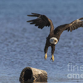 Mitch Shindelbower - Bald Eagle 2