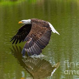 Les Palenik - Bald Eagle in low flight over a lake