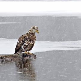 John Vose - Bald Eagle in Snow Storm
