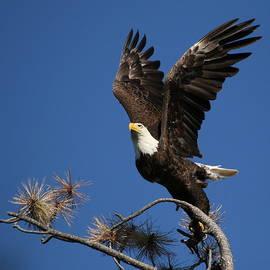 Matt Blankenship - Bald Eagle Liftoff