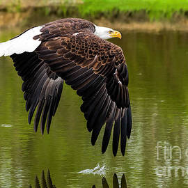 Les Palenik - Bald eagle over a pond