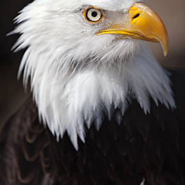 David Millenheft - Bald Eagle Portrait