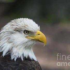 Andrea Silies - Bald Eagle Profile