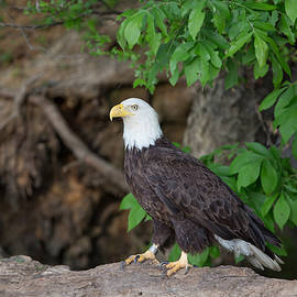 Jack Nevitt - Bald eagle standing on log