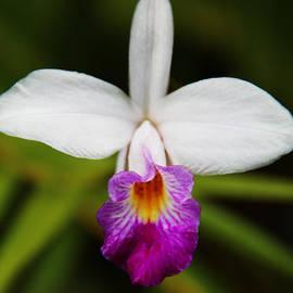 Kerri Ligatich - Bamboo Orchid
