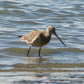 Carl Moore - Bar-tailed Godwit