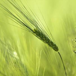 Dan Radi - Barley