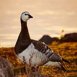 Jouko Lehto - Barnacle goose in sunset