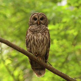 Paul Rebmann - Barred Owl Standing Out in the Green