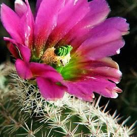 Frank Townsley - Barrel cactus