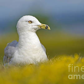 Joshua McCullough - Basking Gull