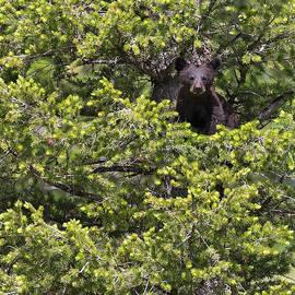 Max Waugh - Bear Cub in Tree