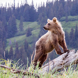 Phil Stone - Bear Cub on the lookout