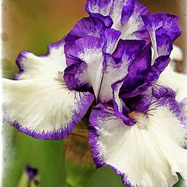 Geraldine Scull - Bearded Iris series 2