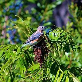 Cynthia Guinn - Beautiful Bluebird