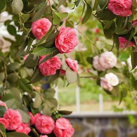 Marianne Campolongo - Beautiful Camellias I