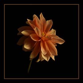 Robert Murray - Beautiful Dahlia